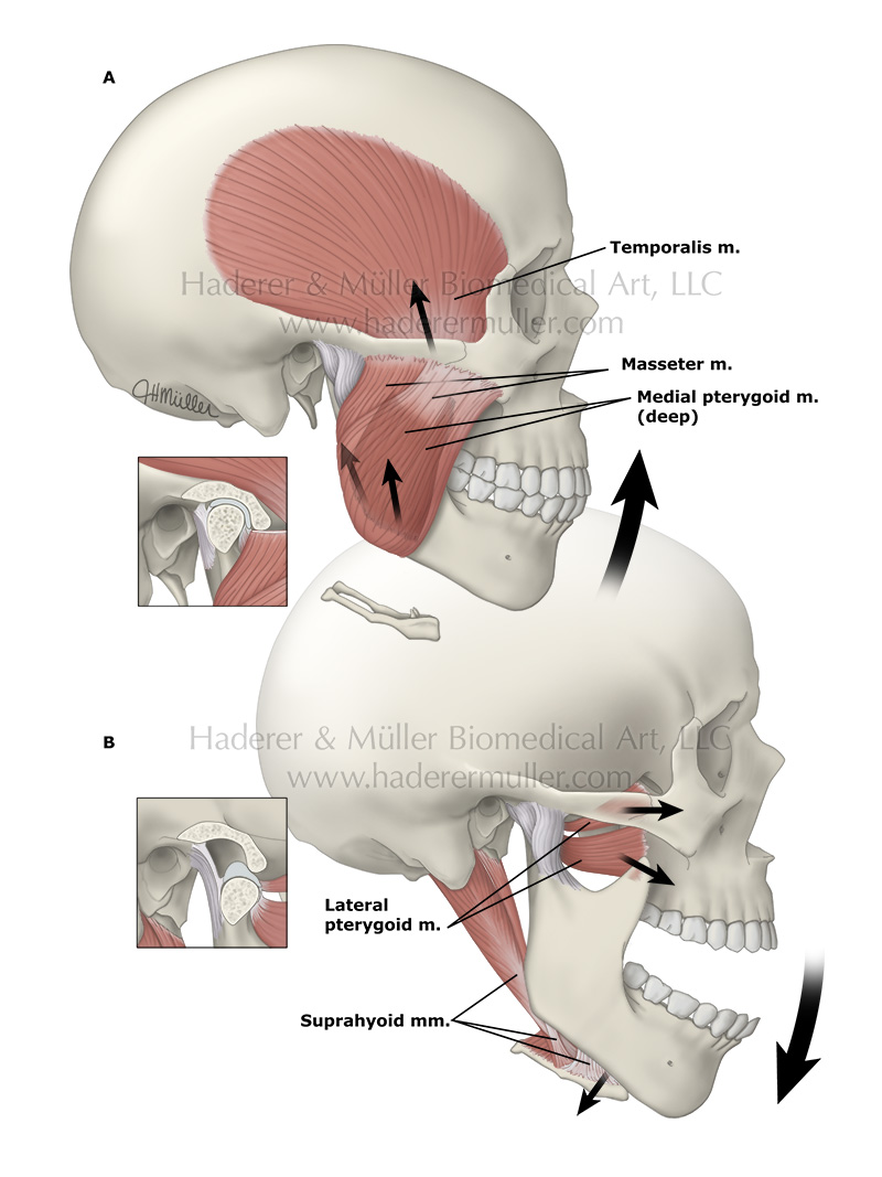 Jaw anatomy & function | HADERER & MULLER